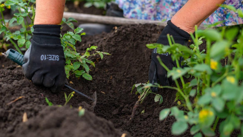 От шиповника до роз в вашем саду